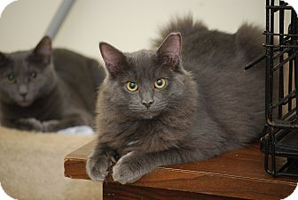 Russian Blue Kitten for adoption in Bensalem, Pennsylvania - Fluffernutter