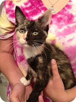 Domestic Shorthair Kitten for adoption in Troy, Ohio - Renay