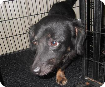 Dachshund/Sheltie, Shetland Sheepdog Mix Dog for adoption in Lubbock, Texas - Koda