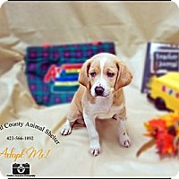 Adopt A Pet :: Beagle pup - La Follette, TN