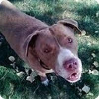 Adopt A Pet :: SWEETIE PIE - Valley Village, CA