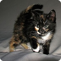 Adopt A Pet :: Ivy - Norwich, NY