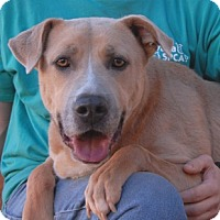 Adopt A Pet :: Chance - Las Vegas, NV