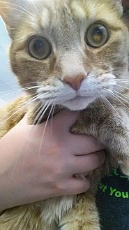 Domestic Shorthair Cat for adoption in Lima, Ohio - Bailey