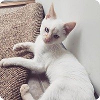 Staten Island Ny Siamese Meet Blaze A Kitten For Adoption