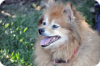 Pomeranian Dog for adoption in Georgetown, Kentucky - Jasmine