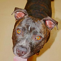 American Staffordshire Terrier Dog for adoption in Fredericksburg, Virginia - Marcel- Smiles Forever Rescue