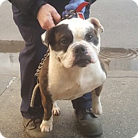 English Bulldog Mix Dog for adoption in Bronx, New York - Rio