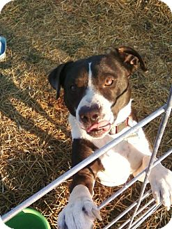 Labrador Retriever/American Pit Bull Terrier Mix Dog for adoption in North, Virginia - King