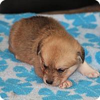 Adopt A Pet :: Noelle - Huntsville, AL