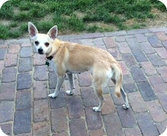 Chihuahua Mix Dog for adoption in Aurora, Illinois - Meghan