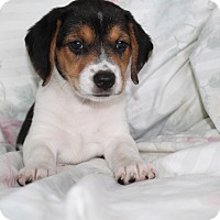 Australian Shepherd/Beagle Mix Puppy for adoption in Albany, New York - Eden (adopted)