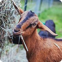 Adopt A Pet :: Bunga & Lockette - Maple Valley, WA