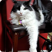 Domestic Mediumhair Cat for adoption in Westminster, Colorado - Sassy - courtesy listing