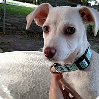 Dachshund/Chihuahua Mix Puppy for adoption in Wichita, Kansas - Hazel