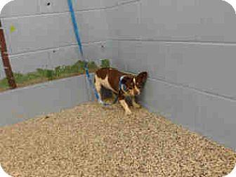 Chihuahua Mix Dog for adoption in San Bernardino, California - URGENT ON 11/8  San Bernardino