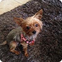 Adopt A Pet :: Duchess - Las Vegas, NV