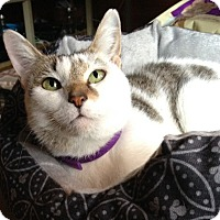 Domestic Shorthair Cat for adoption in Brattleboro, Vermont - Chiffon