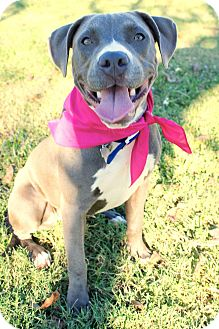 Staffordshire Bull Terrier/American Pit Bull Terrier Mix Puppy for adoption in Houston, Texas - Bailey