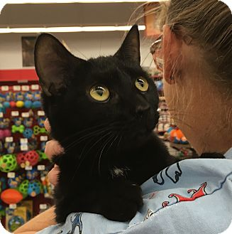 Domestic Shorthair Cat for adoption in Germantown, Maryland - Audrey