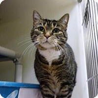 Domestic Shorthair Cat for adoption in Millersville, Maryland - Georgie