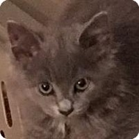 Adopt A Pet :: Scarlet - Cincinnati, OH