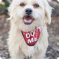 Adopt A Pet :: Amber - Van Nuys, CA