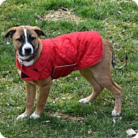 Adopt A Pet :: Puppy Sissy - Adoption Pending - Potomac, MD