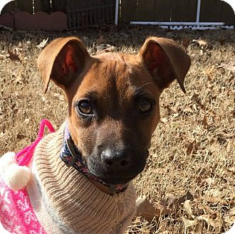 Memphis, TN - Manchester Terrier/Whippet Mix. Meet LUCY a ...
