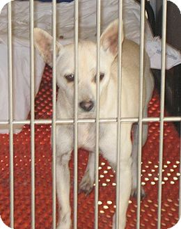 Chihuahua/Terrier (Unknown Type, Small) Mix Dog for adoption in Linden, Tennessee - Honey