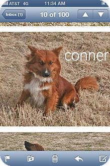 Australian Shepherd Mix Dog for adoption in Conway, Arkansas - Conner