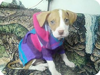 American Pit Bull Terrier/Labrador Retriever Mix Puppy for adoption in Holmes Beach, Florida - Ernie