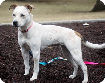 Australian Cattle Dog/American Pit Bull Terrier Mix Dog for adoption in Delano, Minnesota - Shiloh