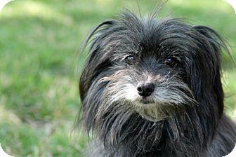 Havanese/Pekingese Mix Dog for adoption in Austin, Texas - Riley