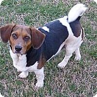 Adopt A Pet :: Tootsie - Katy, TX