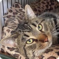 Adopt A Pet :: Meatballz - Calgary, AB