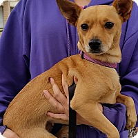 Adopt A Pet :: Belle - Simi Valley, CA