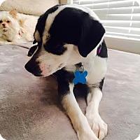 Adopt A Pet :: Abbie - Houston, TX