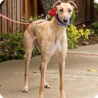 Adopt A Pet :: Brook - Walnut Creek, CA