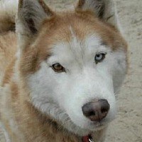 Siberian Husky Dog for adoption in Raleigh, North Carolina - Loki