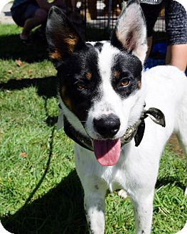 Cattle Dog Mix Dog for adoption in San Diego, California - Rowdy - Adopted!