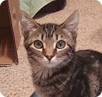 Domestic Shorthair Kitten for adoption in Burlington, North Carolina - DELILAH