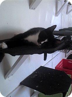 Domestic Shorthair Cat for adoption in Medford, New York - Dean