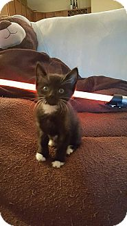 Domestic Shorthair Kitten for adoption in Tampa, Florida - Poe