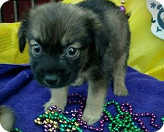 Blue Heeler/German Shepherd Dog Mix Puppy for adoption in Des Moines, Iowa - Rival