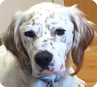 English Setter Dog for adoption in Pine Grove, Pennsylvania - REECE