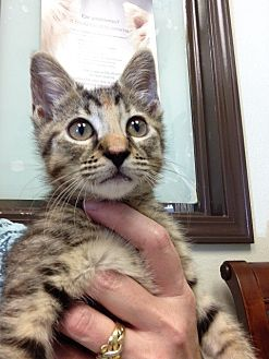 American Shorthair Kitten for adoption in Navarre, Florida - Sophia