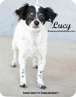 Papillon Mix Dog for adoption in Modesto, California - Lucy