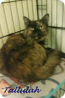 Domestic Longhair Cat for adoption in Chisholm, Minnesota - Tallulah