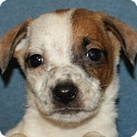 Adopt A Pet :: Brock - Colonial Heights, VA